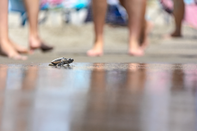 Baby Sea Turtle Crawling To The Ocean In Pine Knoll Shores